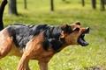 Двинешься - разорвет: как спастись от агрессивной собаки