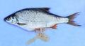 Как избавиться от паразитов в рыбе