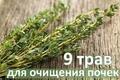 Топ-девять трав для очищения почек