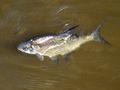 Паразиты рыб опасные для человека и как их победить